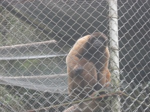 12 Woolly Monkey