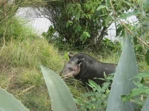 7 Tapir 1