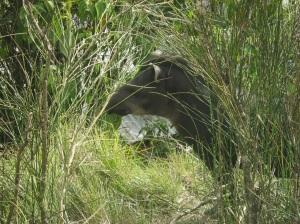 8 Tapir 2