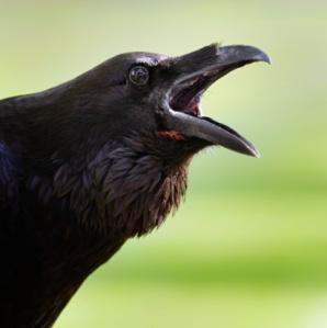 http://2.bp.blogspot.com/-3Pp_nGb_dKU/UGcOVA959MI/AAAAAAAADXk/3btU7QES-tg/s1600/raven.jpg